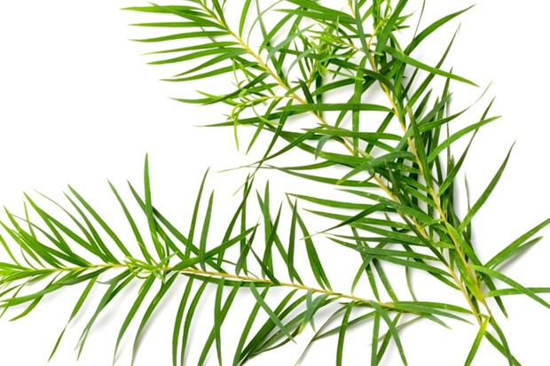 Can tea tree oil disrupt hormones? © Getty Images