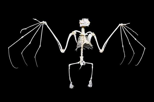 How did the bat skeleton evolve? © Getty Images