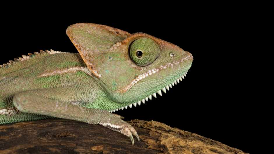 Do reptiles have ears? © Getty Images