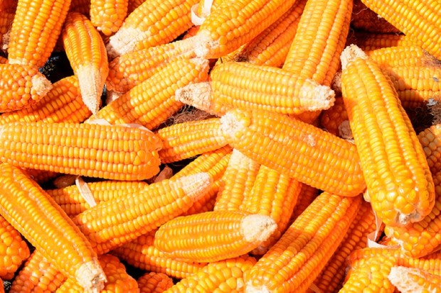 Why is sweet corn not digested? © Getty Images
