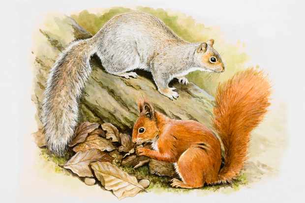 Why do red and grey squirrels not interbreed? © Getty Images
