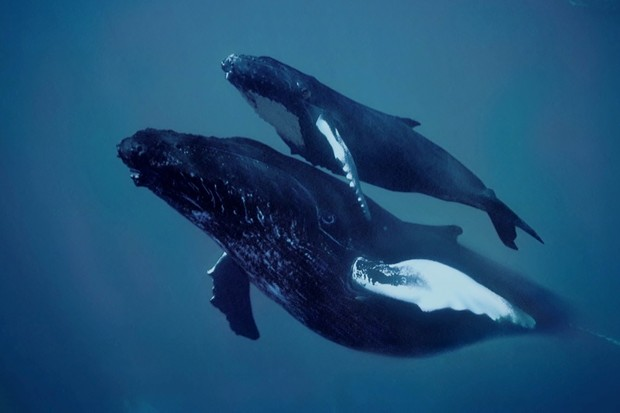 How do whales sing? © Getty Images