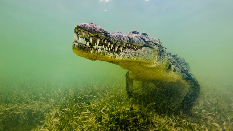 Why did crocodiles stop evolving? © Getty Images