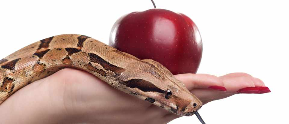 Female holding apple and snake, photographed over white background. © Getty Images