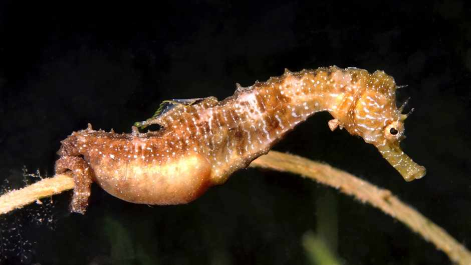 How do we know it's the male seahorses that give birth? © Getty Images