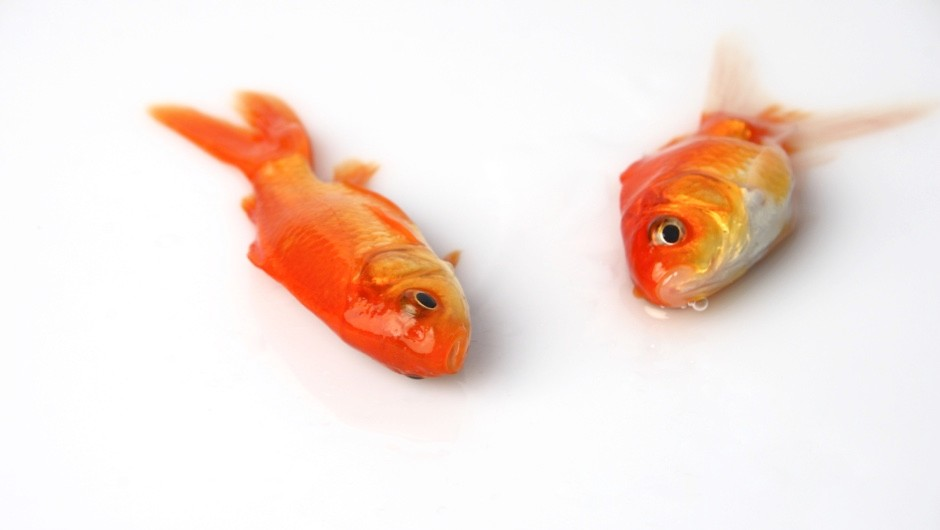 Why do fish float when they die? © Getty Images