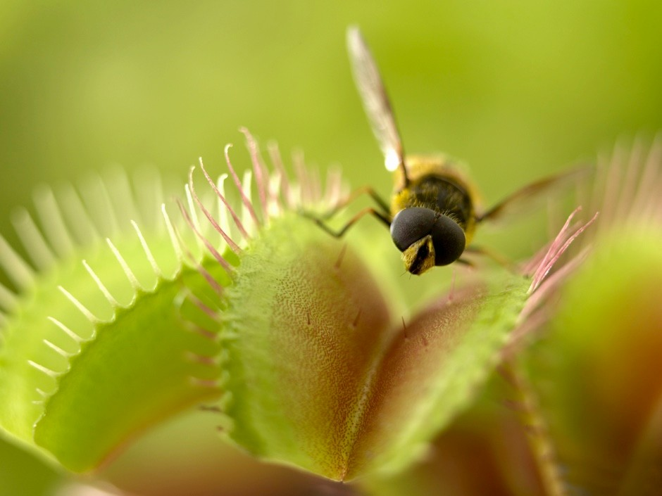 What is the largest animal eaten by a venus fly trap? © Getty Images