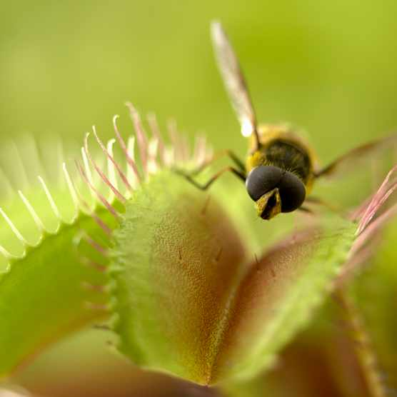What is the largest animal ever eaten by a Venus flytrap? © Getty Images