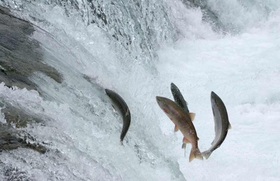 What happens to fish when they go over waterfalls? © Getty Images