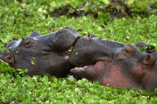 Hippos mating © Getty Images