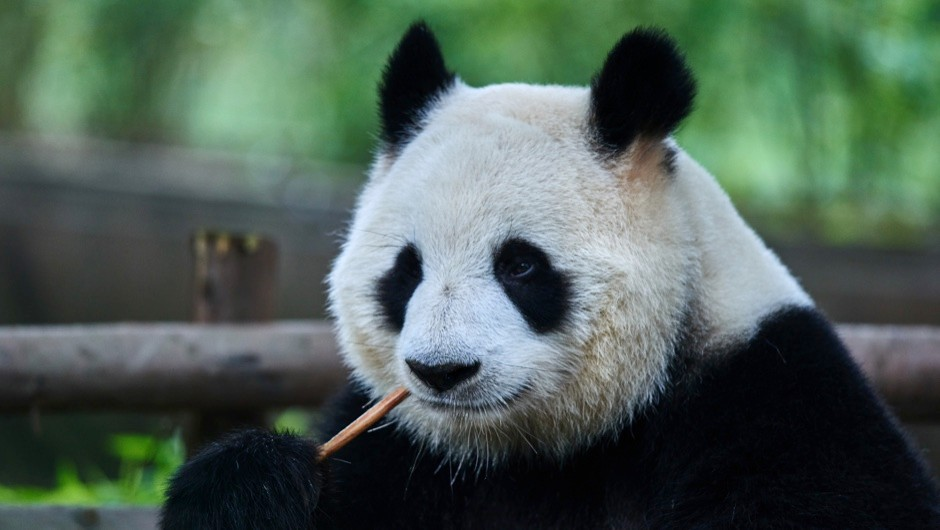 Are pandas less fertile than other animals? © Getty Images