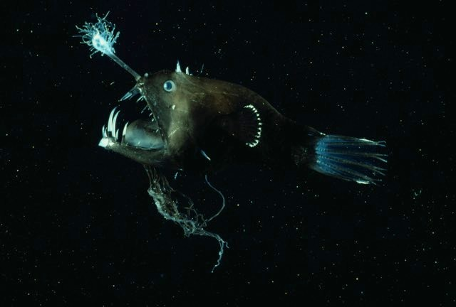 Angler fish © Getty Images