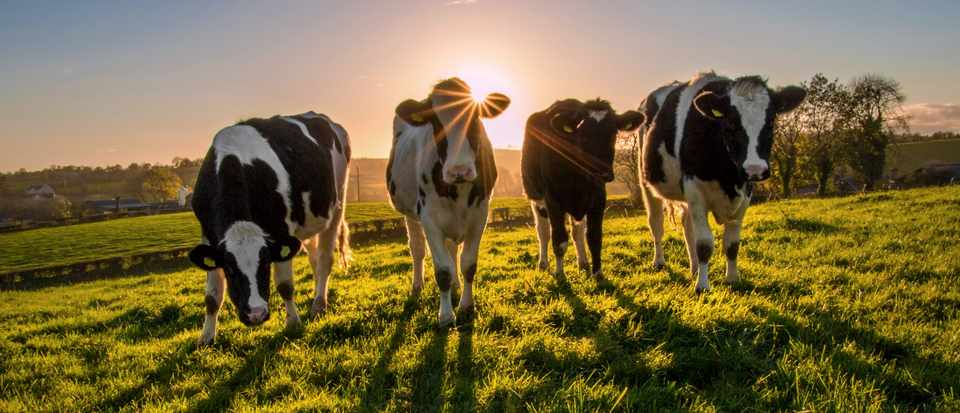 why do most cows in a field face the same direction science focus