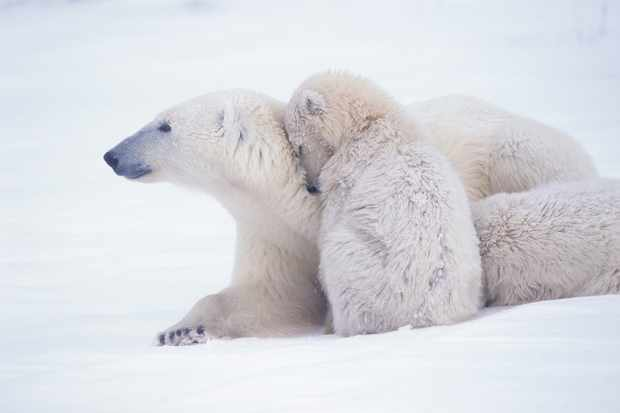 How do polar bears stay warm? © Getty Images