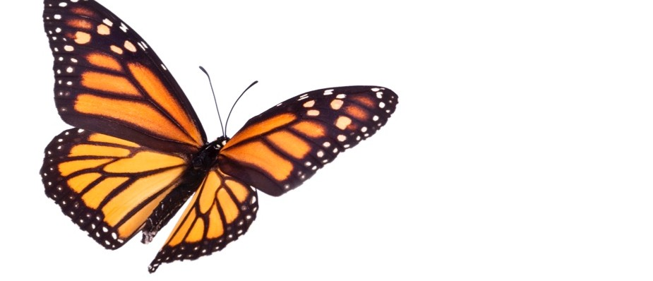 Why don't butterflies fly in straight lines?