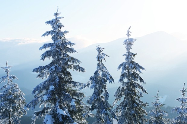 How tall can Christmas trees grow? © Getty Images