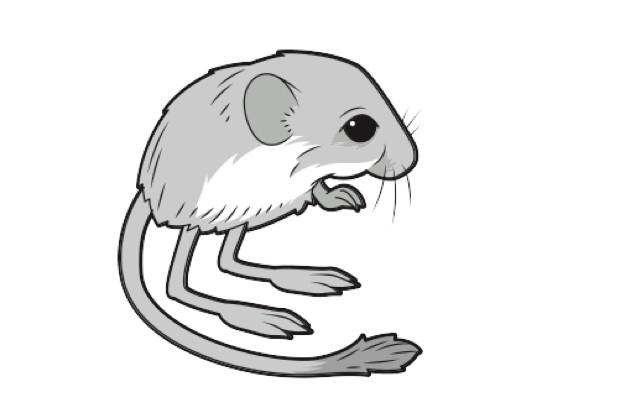 Pygmy jerboa
