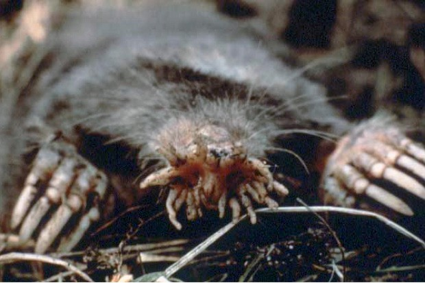 Star-nosed mole by US National Parks Service, Public domain, via Wikimedia Commons