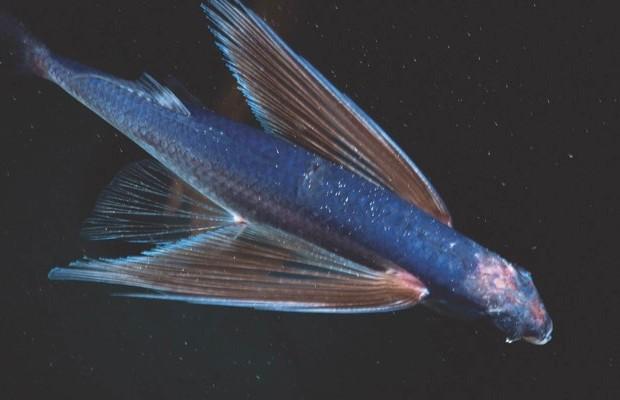 Fourwing flying fish © Alamy