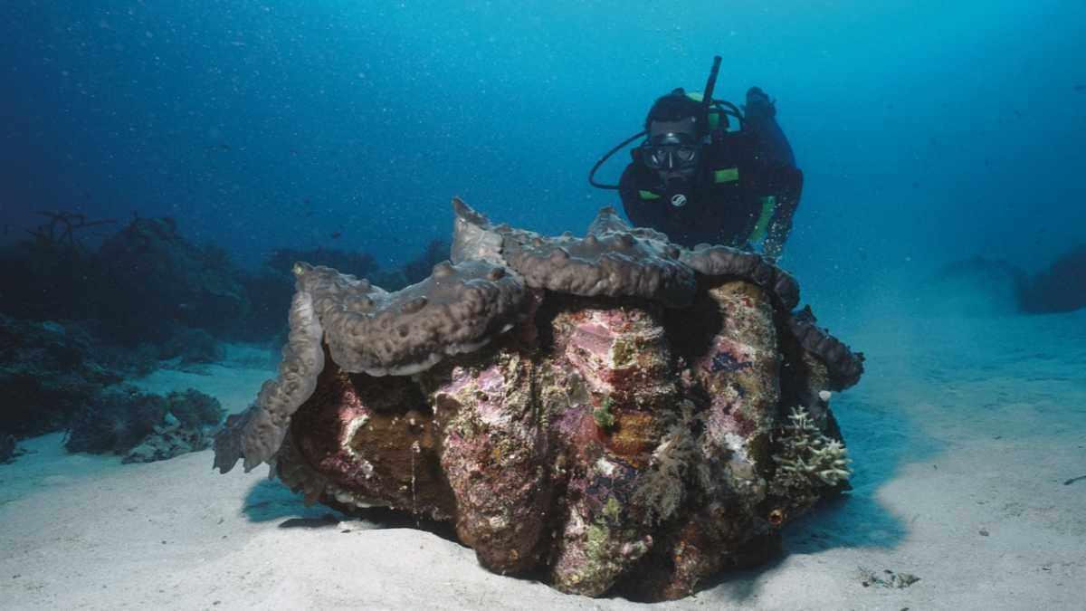 What creature makes the biggest seashell? Tricanda gigas © FLPA/Norbert Wu