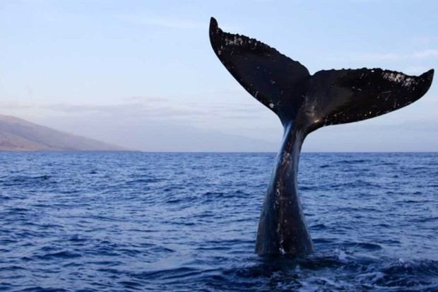 Why do fish have vertical tail fins and whales have horizontal ones? © Getty Images