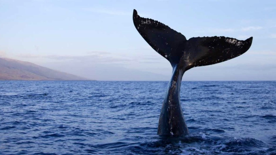 Why do fish have vertical tail fins and whales have horizontal ones?