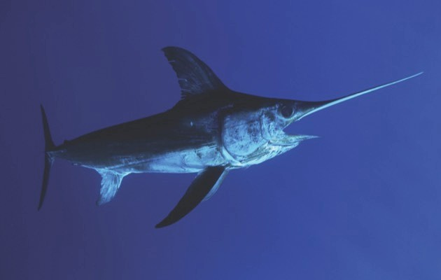 Swordfish © Getty Images