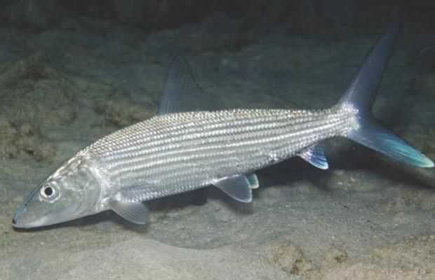 Bonefish © Getty Images