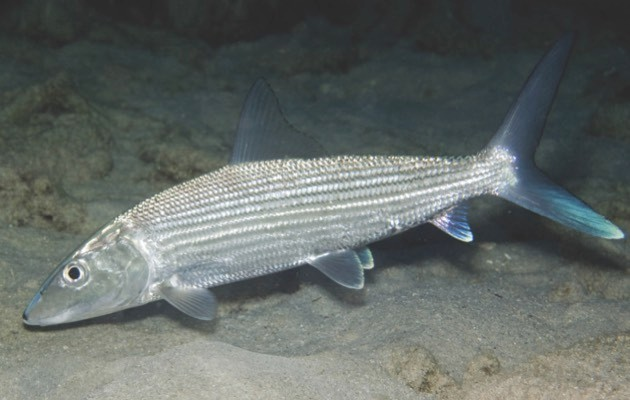 Bonefish © Getty Images