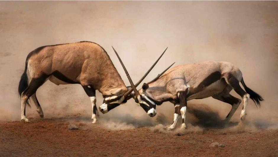 Do animals murder their own species? © Getty Images