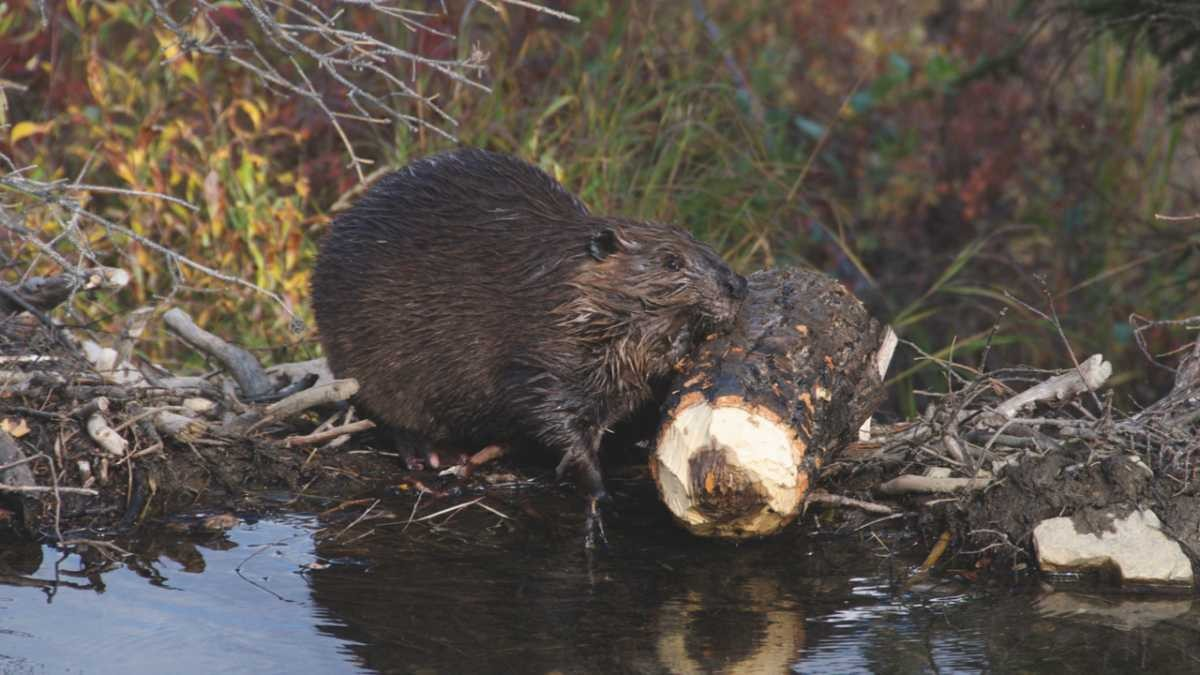 Why do beavers build dams? © Getty Images