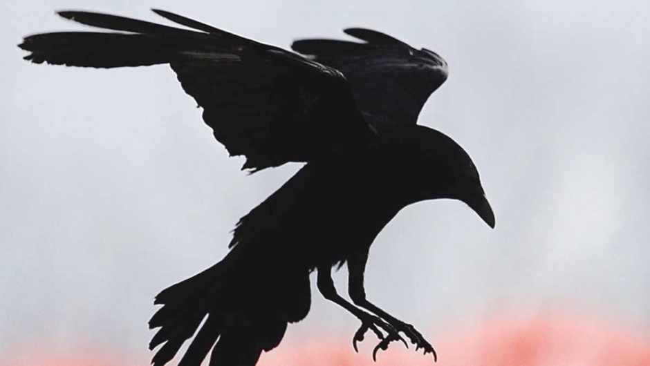 Do crows actually fly in a straight line? © Getty Images