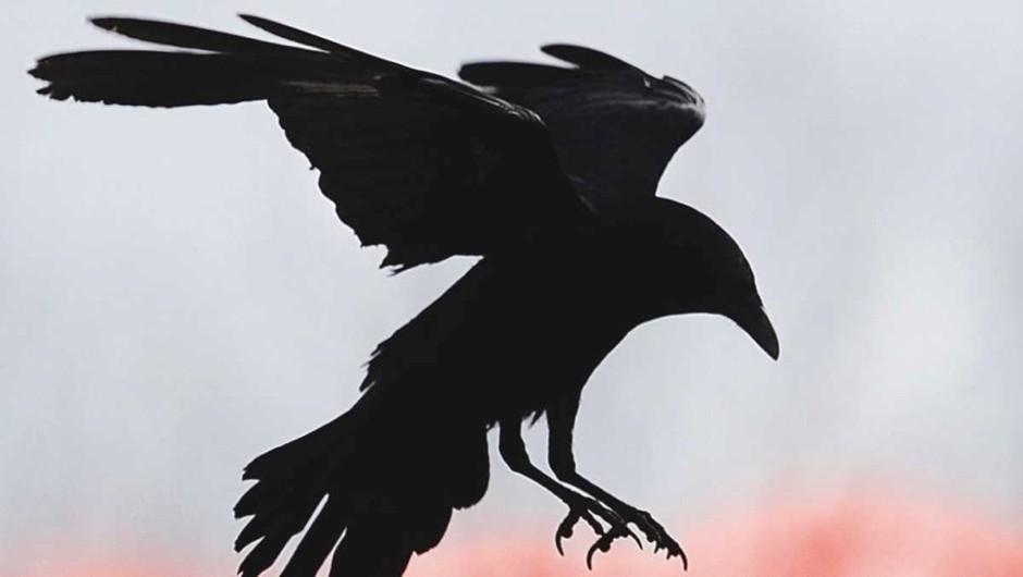 Do crows actually fly in a straight line?