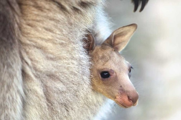 What's the inside of a kangaroo's pouch like? © Getty Images