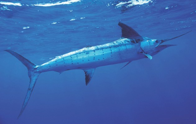 Striped marlin © Getty Images