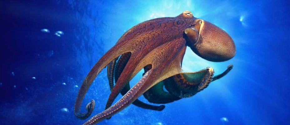 How many hearts does an octopus have?
