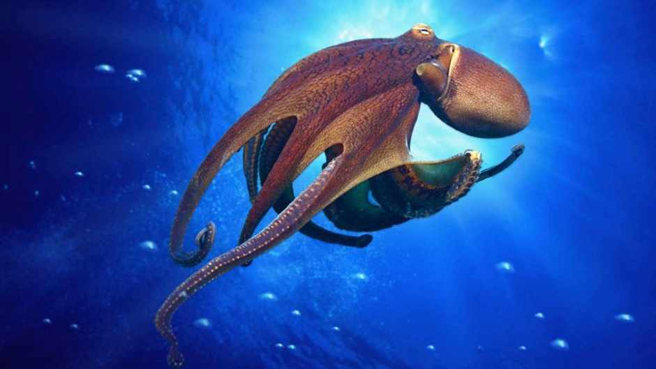 Why does an octopus have more than one heart? © Getty Images