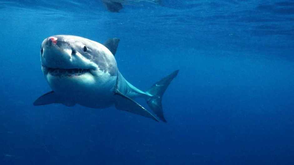 how do sharks smell blood underwater science focus bbc focus