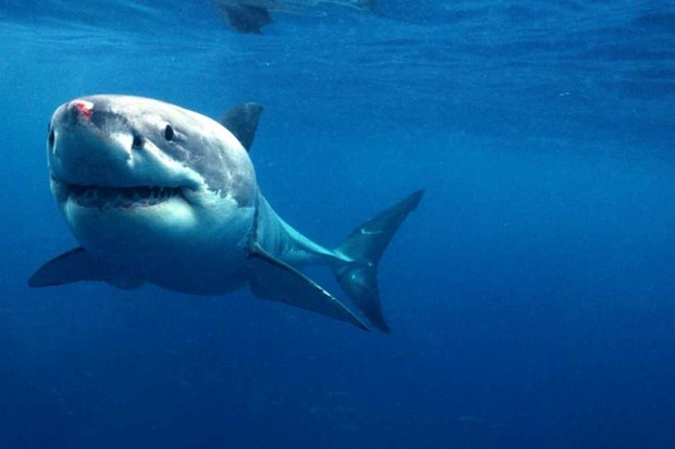 How do sharks smell blood underwater? © Getty Images