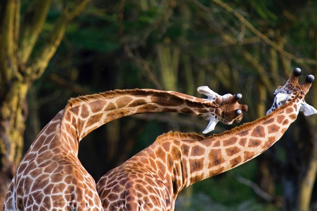 Two Rothschild Giraffe in 'necking' contest - Lake Nakuru National Park, Kenya © WLDavies/Getty Images The giraffe's neck serves a number of functions: which of these functions shaped its evolution is the subject of much debate among biologists © WLDavies/Getty Images
