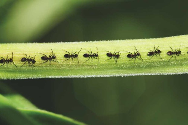 Why do ants walk in a line? © Getty Images