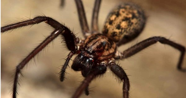How many UK spiders are actually dangerous?