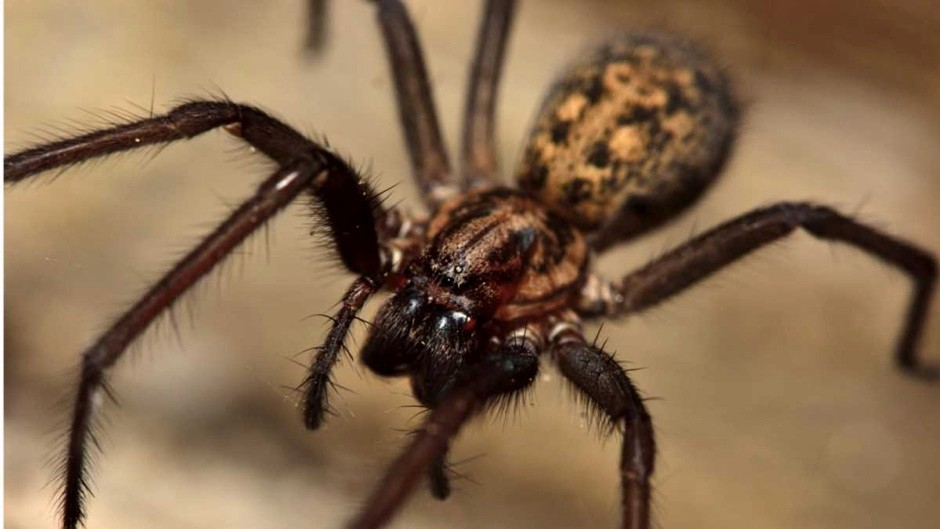 How many UK spiders are actually dangerous? © Getty Images