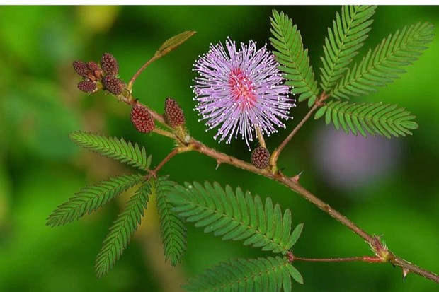 Why do mimosa plants close when touched? © Getty Images