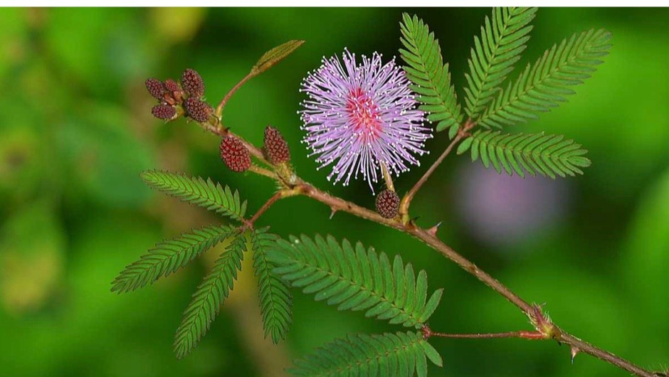 sensitive plants to the human touch