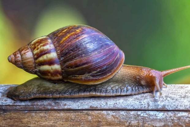 Why do so many snails appear on pavements? © Getty Images