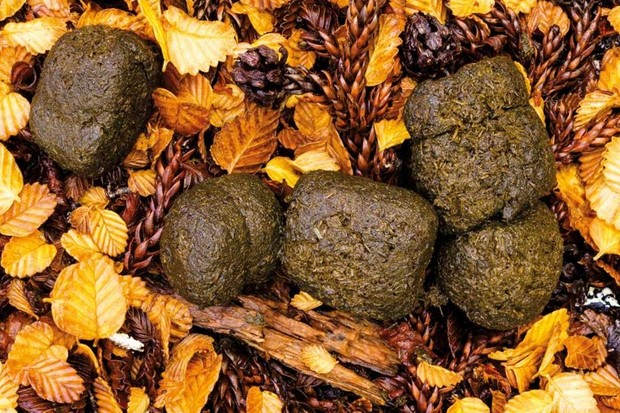 Why do wombats do cube-shaped poos? © Getty Images