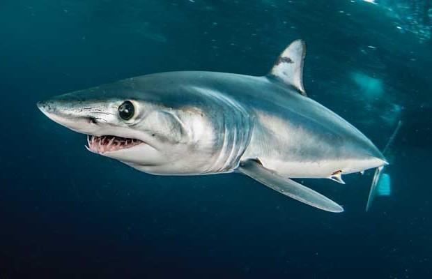 5. Mako shark
