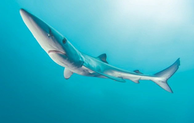 Blue shark © Getty Images