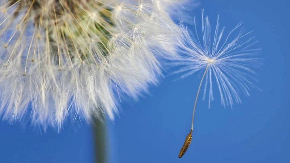 How far can dandelion seeds travel? © Getty Images
